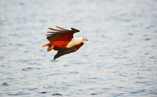 Free African Fish Eagle (Haliaeetus Vocifer) Stock Images - 18155554