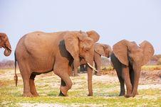 Free Large Herd Of African Elephants Stock Photo - 18155560