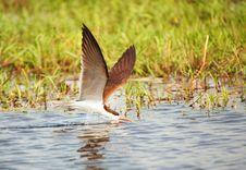 Free African Skimmer (Rynchops Flavirostris) Royalty Free Stock Image - 18155566