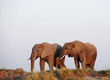 Large Herd Of African Elephants Royalty Free Stock Photo