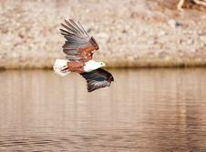 African Fish Eagle (Haliaeetus Vocifer) Royalty Free Stock Photography