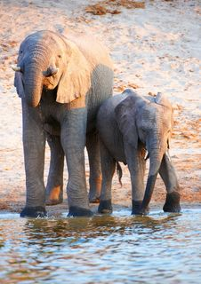 Free Large Herd Of African Elephants Stock Photography - 18155592