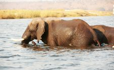 Free Large Herd Of African Elephants Royalty Free Stock Photography - 18155607