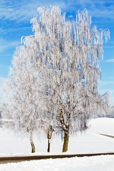 Free Birch Tree With Hoarfrost Stock Image - 18156261