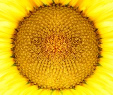 Free Sunflower Head Royalty Free Stock Images - 18156719