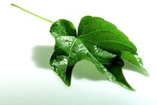 Free Leaf Royalty Free Stock Photos - 18157298