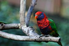 Free Rainbow Lorikeet Royalty Free Stock Photography - 18158457