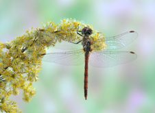 Dragonfly Sympetrum Striolatum (male) Stock Photography