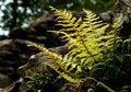 Free Sunlit Fern Royalty Free Stock Photography - 18162317
