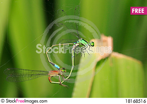 Free Damselflies Caught In The Act Royalty Free Stock Image - 18168516