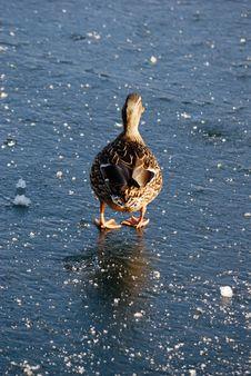 Duck In Winter Stock Photo