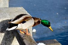 Duck In Winter Royalty Free Stock Photography