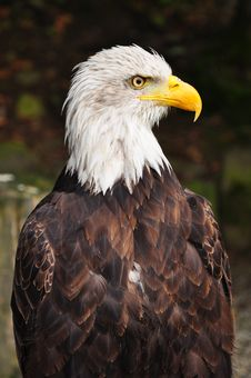 Free American Eagle Royalty Free Stock Photos - 18161018