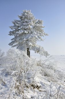Free Frost Pine And Bush Stock Images - 18161034