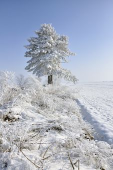 Free Frost Pine Stock Photography - 18161082