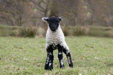 Free Spring Lamb Stock Image - 18162221