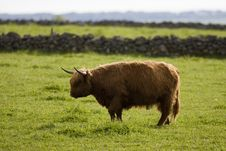 Free Highland Cows Stock Image - 18162261