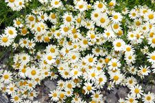 Free Summer Daisy Background Stock Images - 18162274