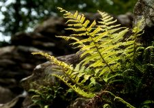 Free Sunlit Fern Royalty Free Stock Photography - 18162317