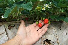 Free Strawberry Royalty Free Stock Photo - 18162965