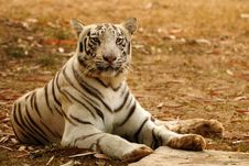 Free Alert Bengal Tiger Royalty Free Stock Photos - 18163278