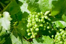 Young Grape Stock Images