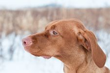 Portrait Of A Vizsla Dog In Winter Stock Photo
