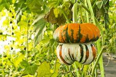 Free Pumpkin Stock Photography - 18164812