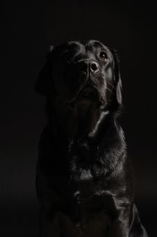 Free Black Labrador Retriever Stock Photo - 18165090