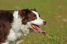 Red Border Collie Dog Stock Photos