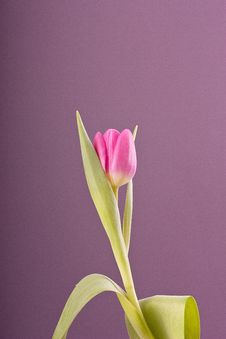 Free One Pink Tulip Stock Images - 18167144