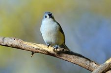 Free Tufted Titmouse Stock Images - 18168194