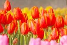 Free Red Tulips Royalty Free Stock Photo - 18169615
