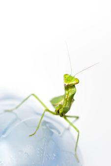 Free Green Praying Mantis Take Smilly On Stock Photo - 18175070