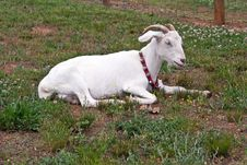 Free Domestic White Horned Goat With Collar At Rest Royalty Free Stock Image - 18175346