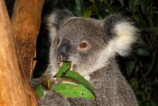 Free Koala Bear Rescued From Wild Stock Photography - 18175752