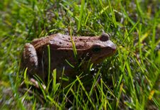 Free Frog In The Grass Royalty Free Stock Photos - 18176718