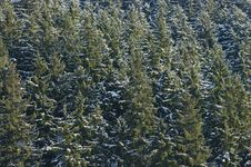 Free Spruce Forest Stock Photos - 18176823