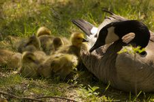 Mother Goose And Goslings Stock Images