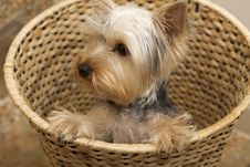 Free Yorkshire Terrier Royalty Free Stock Image - 18177216