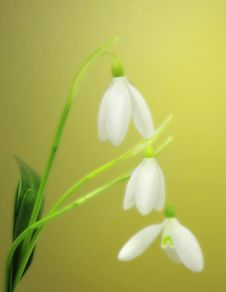 Free Tender Snowdrops Background Stock Images - 18178284