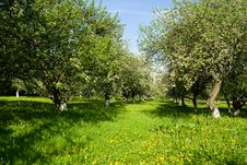 Free Blossoming Apple Orchard Stock Image - 18178301