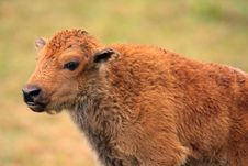 Free Bison Calf Portrait Stock Photo - 18178750