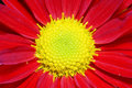 Free Chrysanthemum Stock Images - 18180494