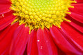 Free Chrysanthemum Royalty Free Stock Photography - 18180507