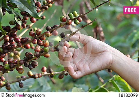 Coffee Beans On A Coffee Tree Free Stock Photos Amp Images