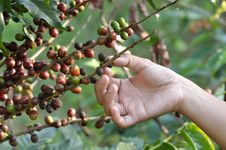 Free Coffee Beans On A Coffee Tree Royalty Free Stock Images - 18180099