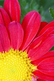 Free Chrysanthemum Flower Stock Image - 18180441