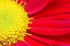 Free Chrysanthemum Stock Image - 18180461