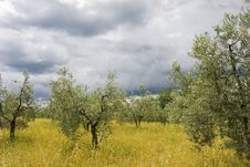 Free Olive Grove Royalty Free Stock Photography - 18181347